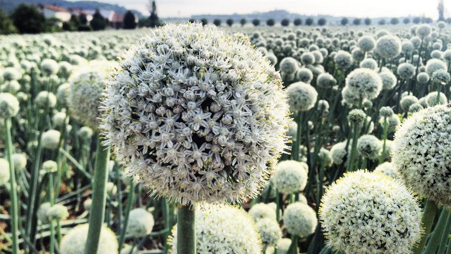 Les graines et bulbes utilis s pour les oignons et l 39 ail orti dei berici - Semer de l ail ...